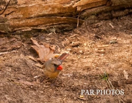 D300_34820_female cardinal2